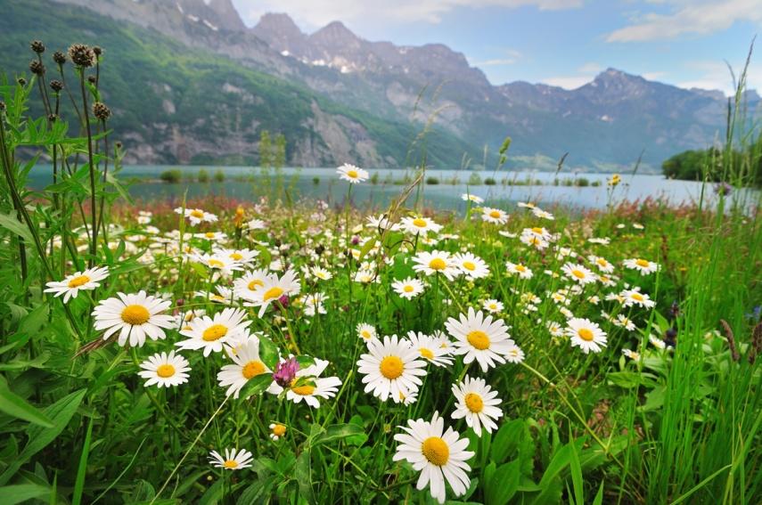 Meadow---Alps