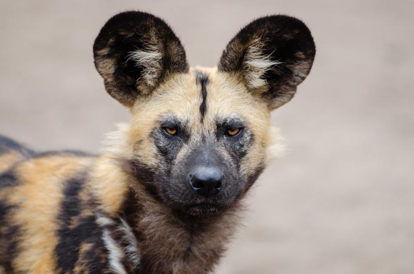 african-wild-dog-1332236_1920